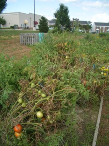Tomato plants laying on their side due to high winds